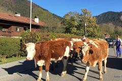 Kuh-Tegernsee-Kühe-Rottach-Egern-Almabtrieb
