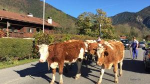 Kuh Tegernsee Kühe Rottach Egern Almabtrieb
